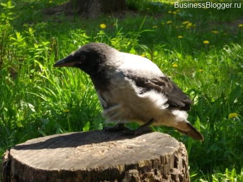Поврежденная ворона